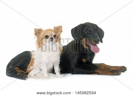 puppy beauceron and chihuahua in front of white background