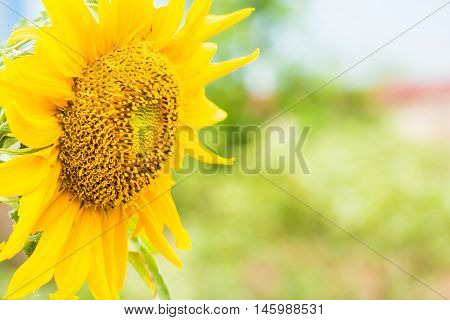 Sunflower on a bright morning sun shine