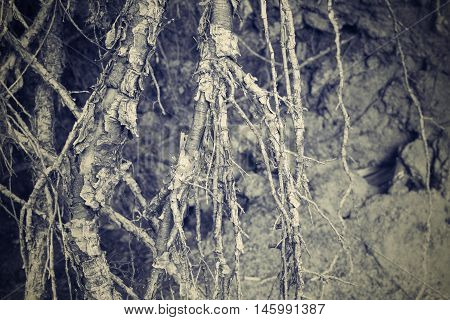 the destroyed and bound roots or rhizomes of trees closeup for an abstract and natural vegetable background of gray beige color