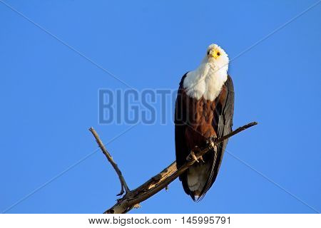 Fish Eagle staying on a tree in Naivasha Lake Kenya. Horizontal shot