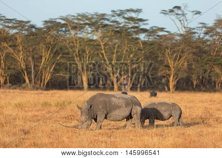 Two white rhino in Nakuru Park Kenya during the dry season