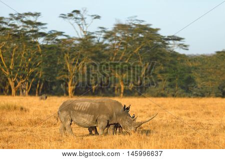 White rhino in Nakuru Park Kenya during the dry season