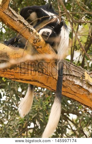 Colobus monkey on a tree in Nakuru Lake Kenya