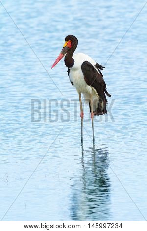 Saddle-billed stork near Nakuru Lake in Kenya. Side view