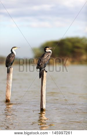 Cormorants on a tree near Naivasha Lake Kenya. Vertical shot