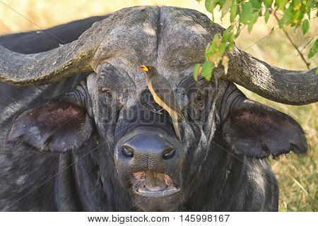 Buffalo in Nakuru Park in Kenya during the dry season. Horizontal shot