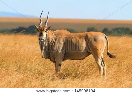 Eland antelope in grass during the dry season in Masai Mara Kenya.