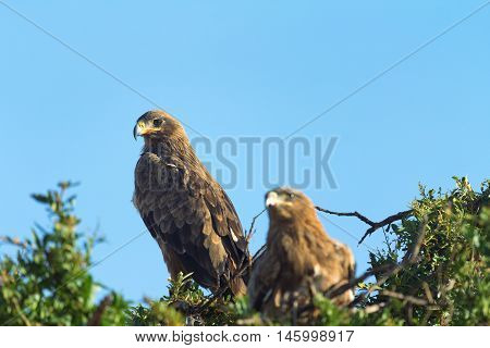 Two Tawny Eagles nesting on a tree in Masai Mara Kenya. Close up