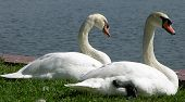 Two swans perched by lake in Lakeland Florida on the grass sunny day poster