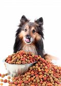 Small Sheltie or Shetland sheepdog licking his lips with bowlful of food spilling over poster