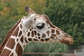 Giraffe at the zoo has brown spots. poster
