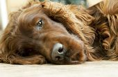Lazy Irish Setter dog looking on the ground poster
