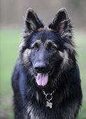 Black german shepherd portrait with tongue hanging out poster