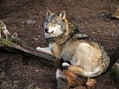 Grey wolf canis lupus resting on the ground. captive animal poster