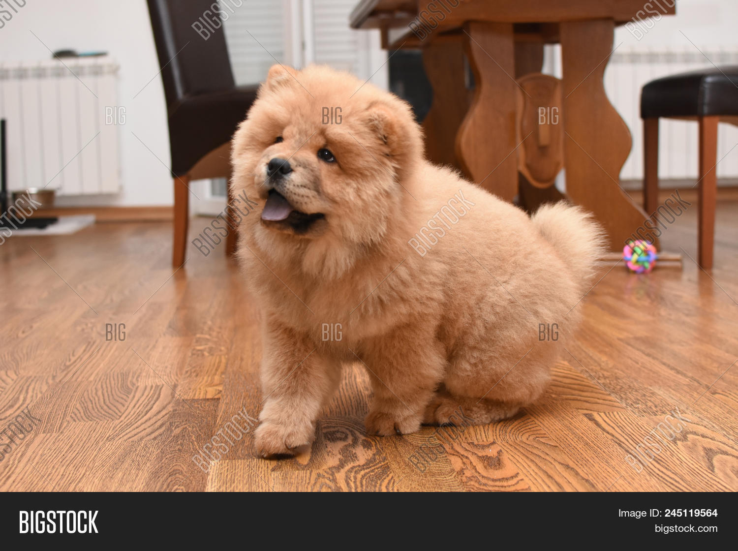 Chow Chow Puppy House Image & Photo (Free Trial) | Bigstock