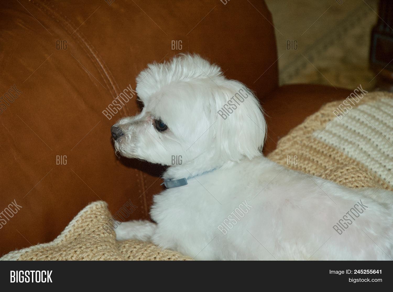 Cute Maltese Puppy Image Photo Free Trial Bigstock