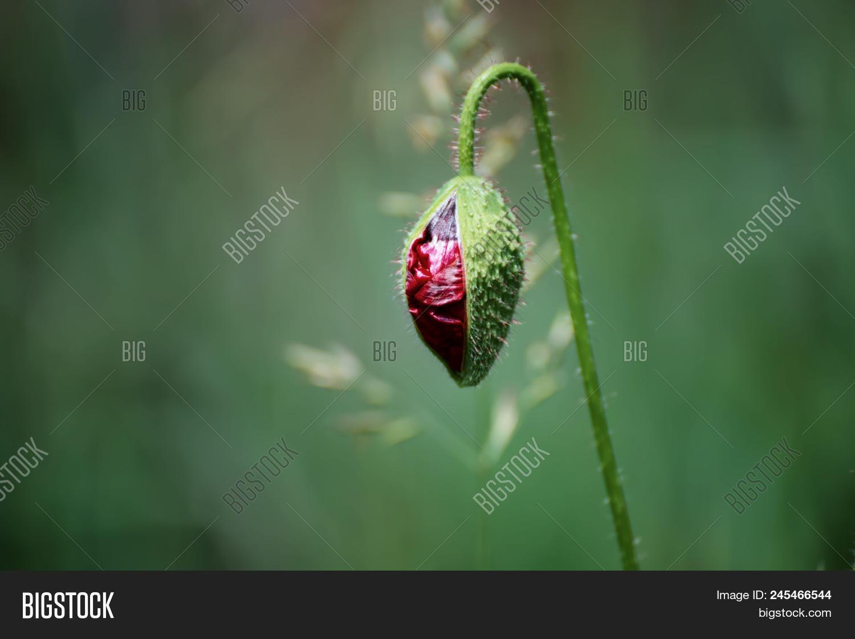 Red Poppy Flower Bud Image Photo Free Trial Bigstock
