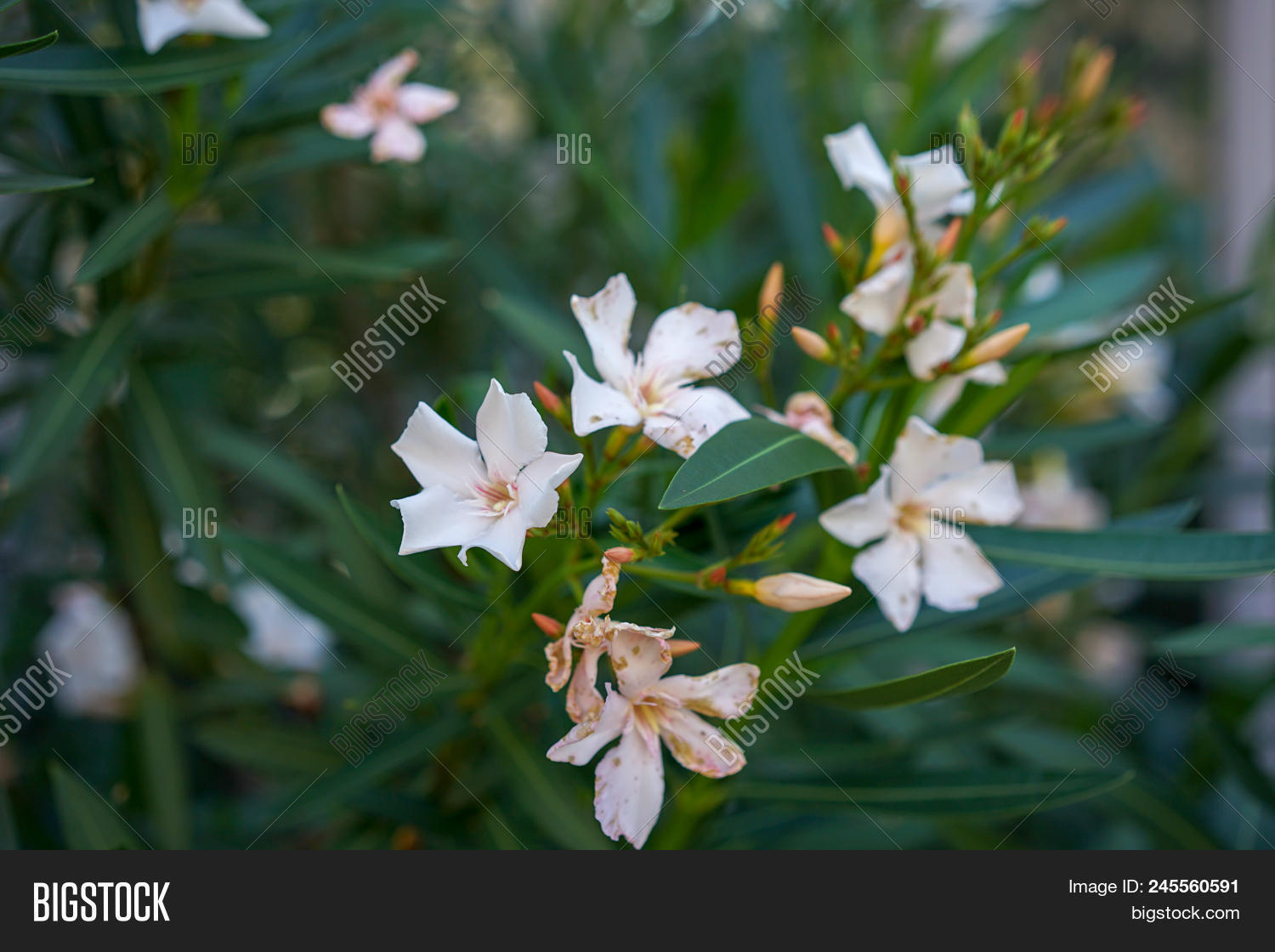White oleander flowers image photo free trial bigstock white oleander flowers nerium oleander from the mediterranean sea area mightylinksfo