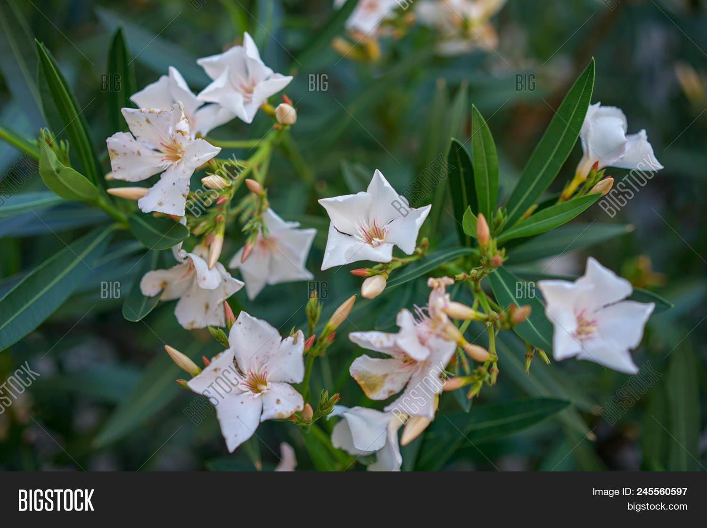White Oleander Flowers Image Photo Free Trial Bigstock