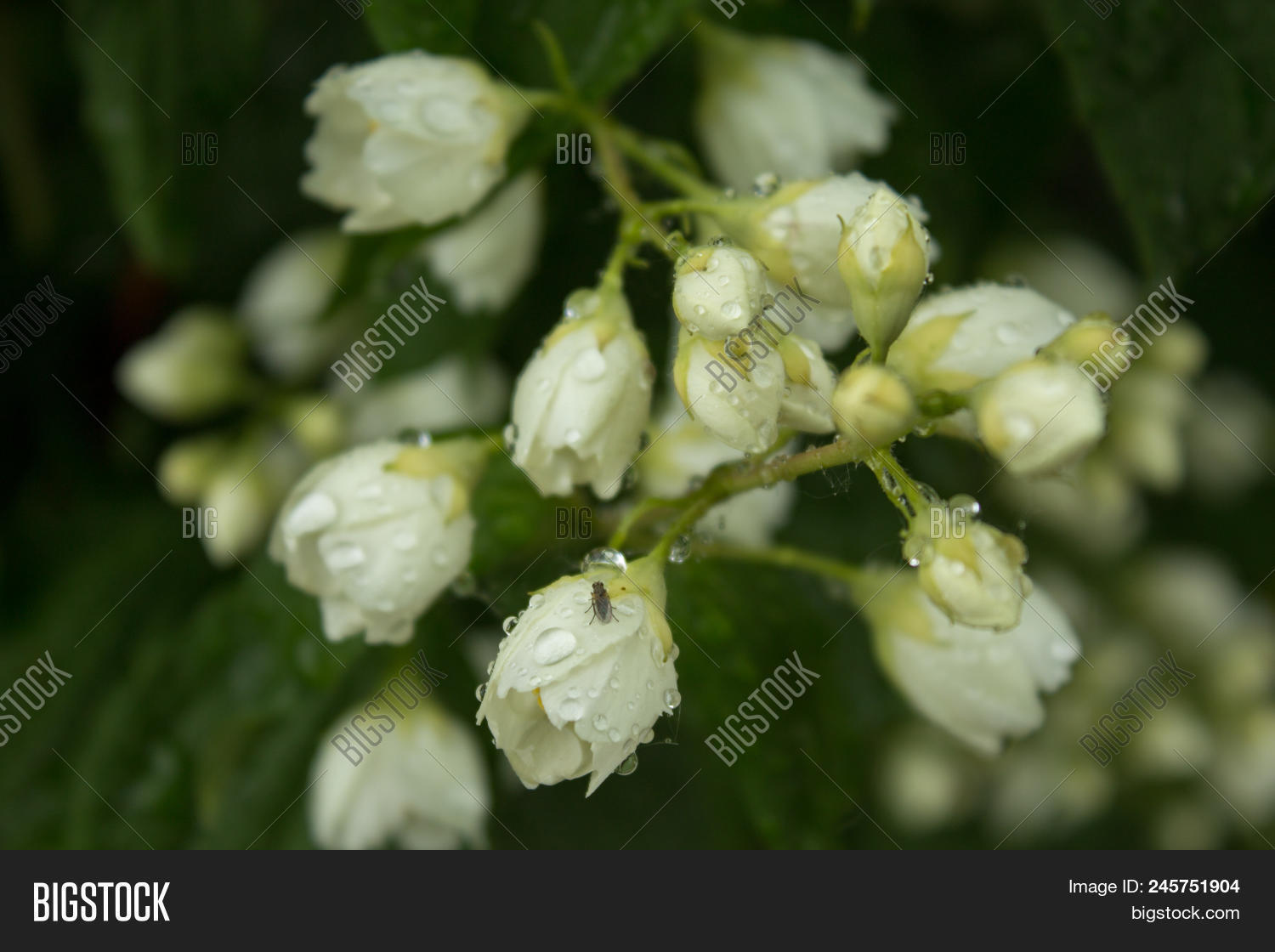 Jasmine flowers image photo free trial bigstock jasmine flowers jasmine is unfold raindrops on buds flowers are semi closed izmirmasajfo