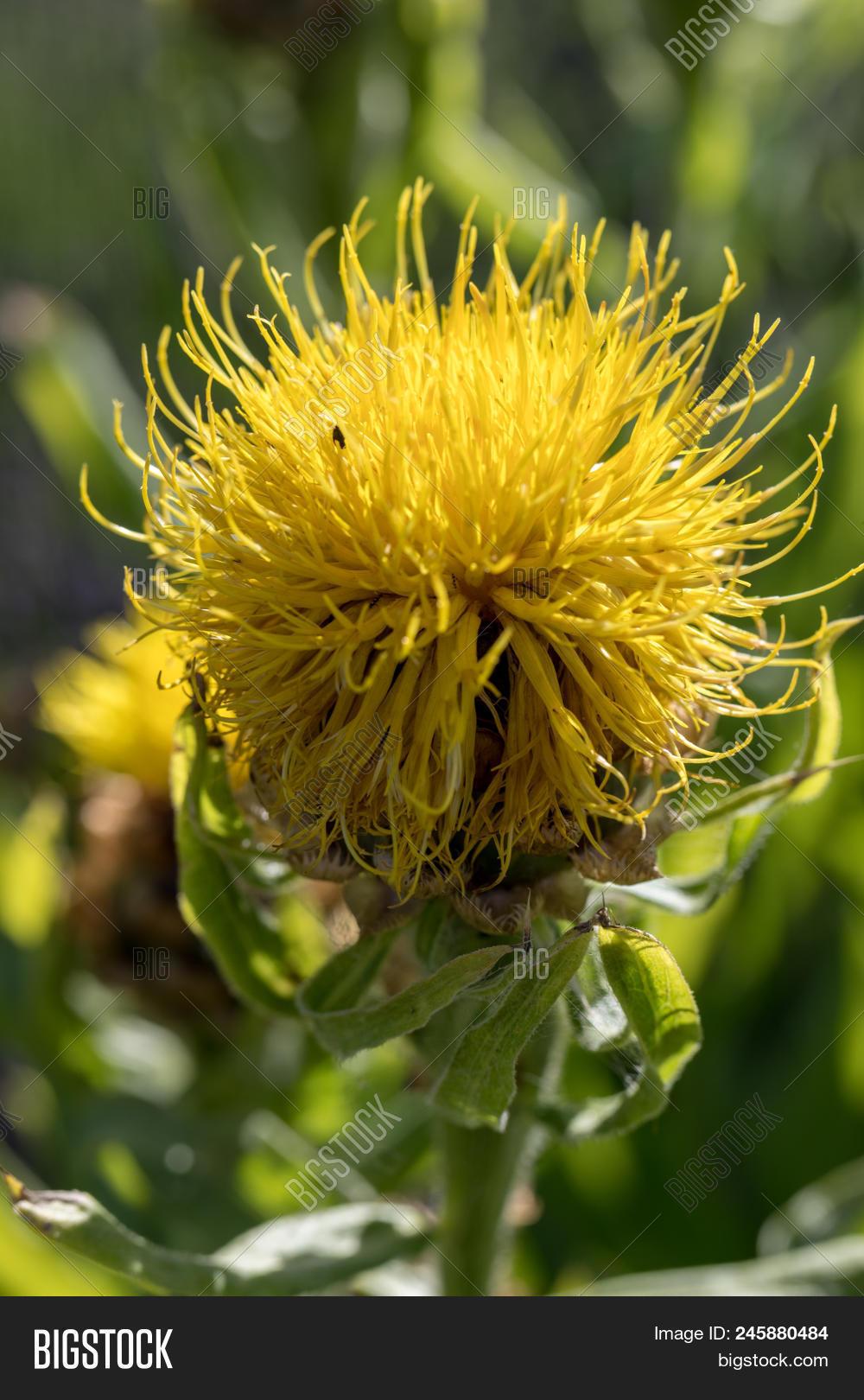 Blooming Yellow Star Image Photo Free Trial Bigstock