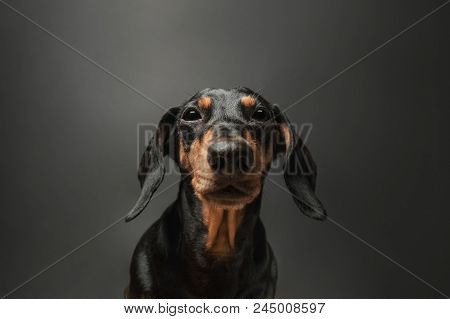 Portrait Of A Cute Dachshund Dog Of Black Color In Front Of A Dark Background. Dog With Suspecting G