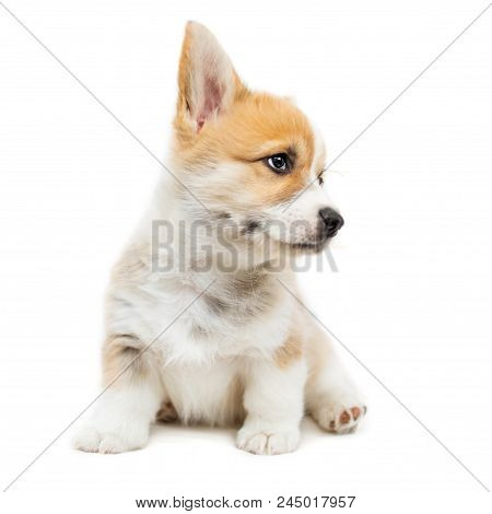 Cute Puppy Corgi Pembroke Looking Up Isolated  On  White Background.. Beautiful Small  Welsh  Puppy