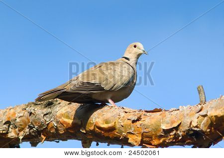 collared dove on a branch / Streptopelia decaocto