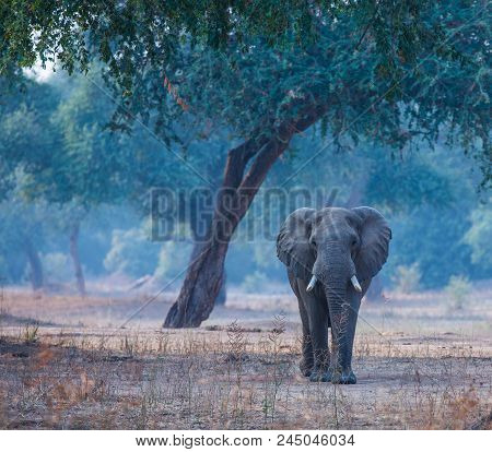 Male Elephant Walking Towards The Camera In Manapools Forest