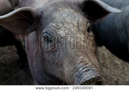 Portrait Of Iberian Pork In Grasslands Extrmadura
