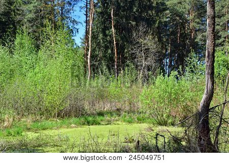 Swamp In A Pine Forest In The Spring. A Young Growth Of Birch And Aspen Trees Surround The Pond. The