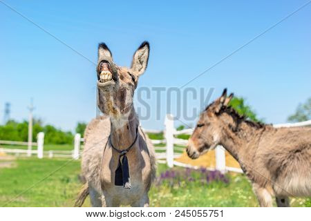 Funny Laughing Donkey. Portrait Of Cute Livestock Animal Showing Teeth In Smile. Couple Of Grey Donk