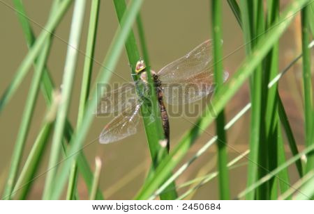 Browndragonfly