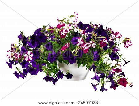 Petunia Isolated On White Background. Selective Focus.