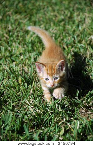 Orange Kitten Taking A Step In The Grass