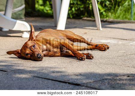 Miniature Pinscher Resting On The Pavement During Summer Heat