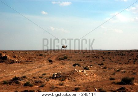 lonely camel at desert of sahara.... poster