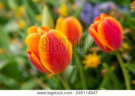 Bluming Vivid Orange Tulips Growing In Flower Garden