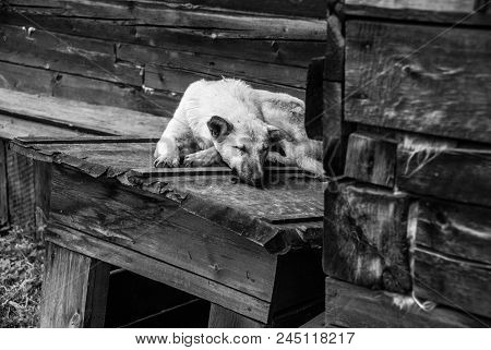 White Mongrel Sleeping On The Doghouse, Black And White Image.
