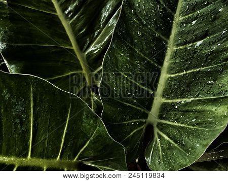 Water Drop On Big Green Leaves, Dark Green Leave Background ,green  Leaf On The Dark Background ,dar