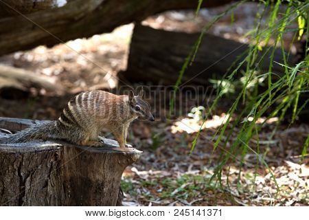 Numbat is a marsupial native to Western Australia and recently re-introduced to South Australia. Its diet consists almost exclusively of termites.