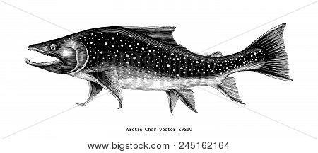Arctic Char Hand Drawing Vintage Engraving Illustration