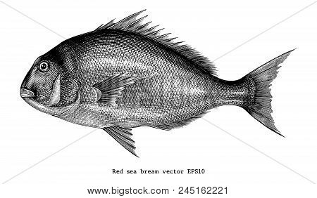 Red Sea Bream Hand Drawing Engraving Illustration Isolated On White Background