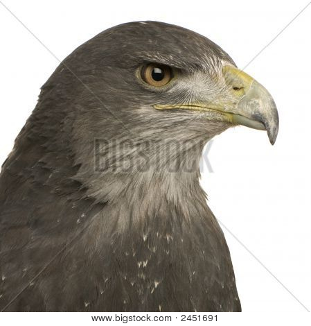 Black-chested Buzzard-eagle () - Geranoaetus melanoleucus in front of a white background poster