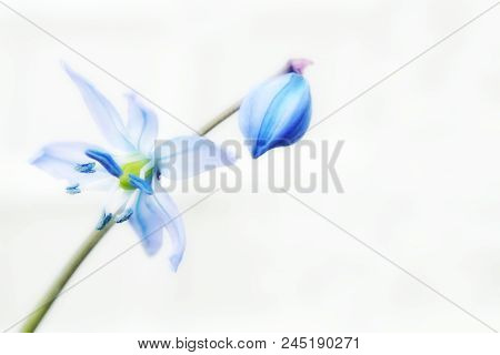Blue Spring Scilla Delicate Flower With A Bud Light On The Heterogeneous White Background