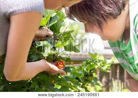Woman Is Showing A Mental Disabled Woman Some Currant Berries In The Own Garden