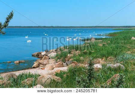The Shore Of The Lake And Swans, Swans In The Bay, A Swan Pack In The Lake Near The Shore