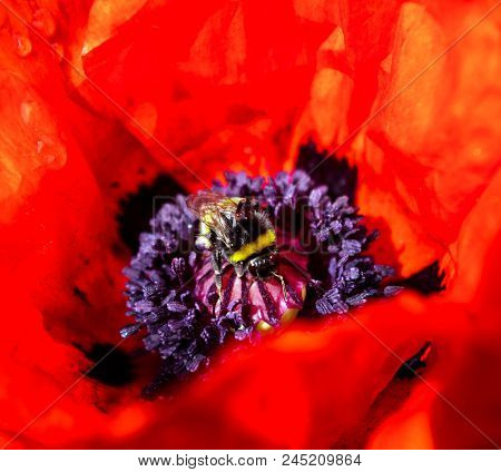 A Macro Image Of A Bumble Bee On An Red Oriental Poppy.
