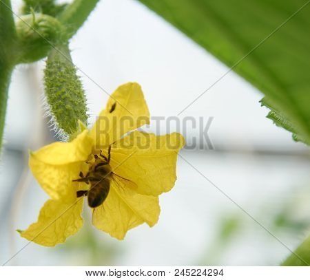 Overy Of Cucumber And Bee On The Flower