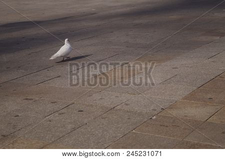 Graceful White Pigeon Walking On The Sidewalk